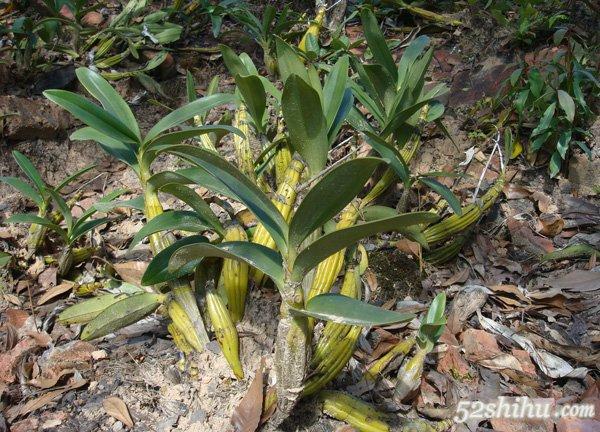 哪种石斛最好   在众多石斛中,最常作为药用植物的是铁皮石斛.图片
