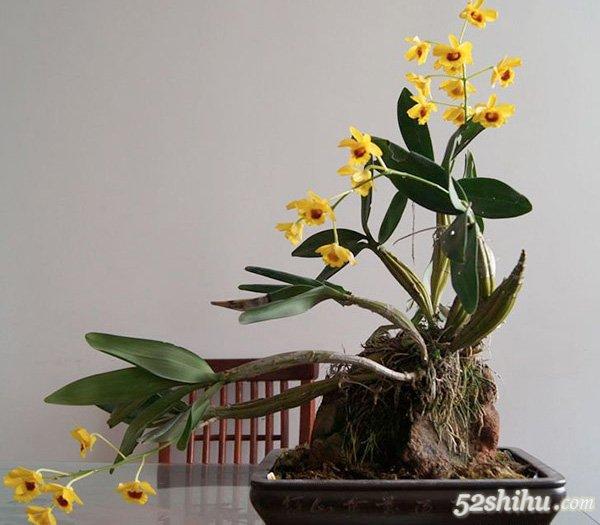 12幅时尚石斛盆景图片欣赏