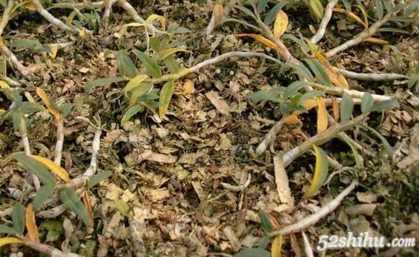 铁皮石斛种植过程中掉叶子的原因有哪些?